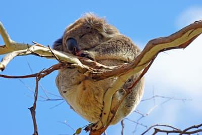 koala_pennen